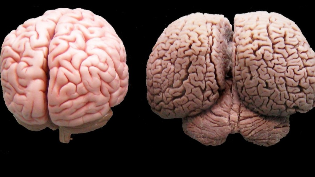 دماغ البشر ودبماغ الدولفين