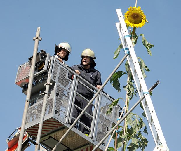 مزارع يحطم رقم غينيس بامتلاكه أطول نبتة دوار الشمس في العالم