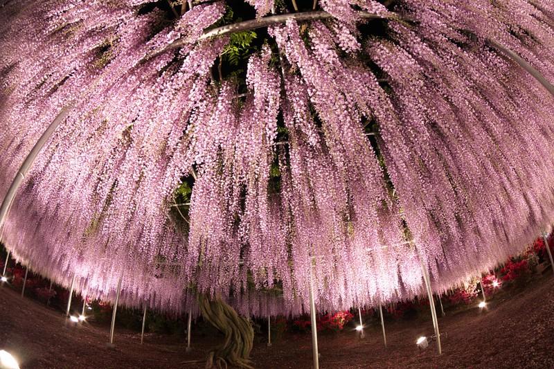 ويستيريا ، الشجرة الأجمل في العالم