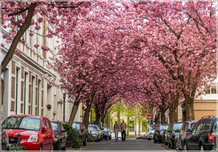 ممر ساكورا أفينيو بون، ألمانيا المغطى بالأزهار