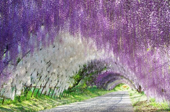 النفق الجميل يتكون من أزهار الوستارية