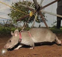 Rats helping to clear deadly mines
