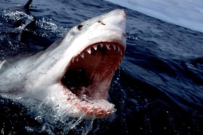 أسنان القرش