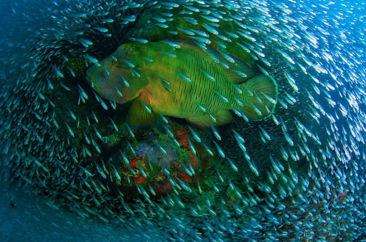 الحيد المرجاني العظيم