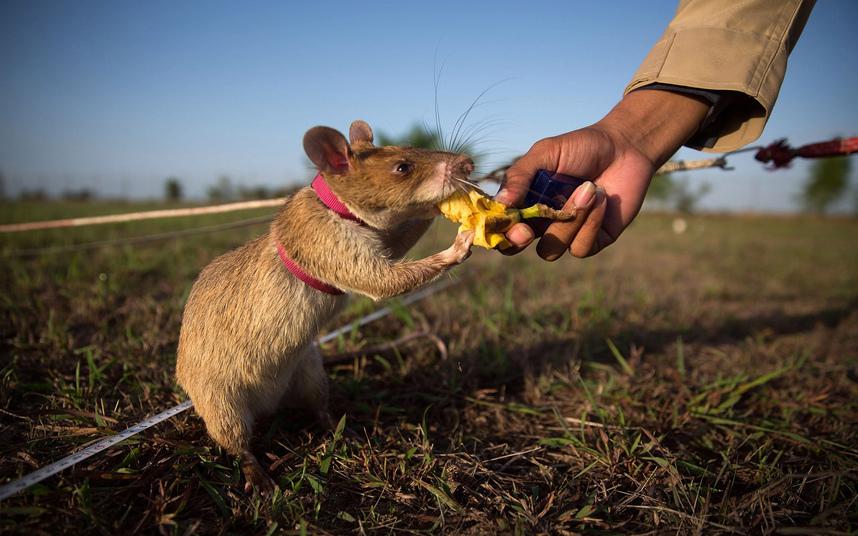 مدرب يُطعم فأرا موزة بعد نجاح الفأر بالكشف عن مكان الألغام بمنجم في سيم ريب