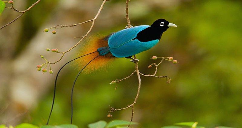 الطائر الأزرق 77151