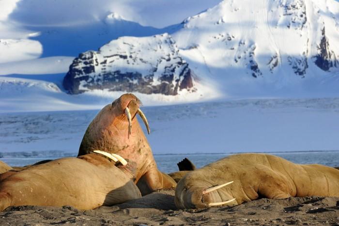 حيوانات القطب الشمالي