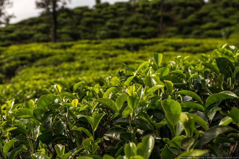 حقول الشاي في سريلانكا