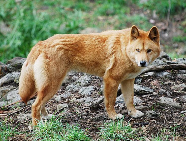 الذئب الأحمر حيوانات مهددة بالانقراض