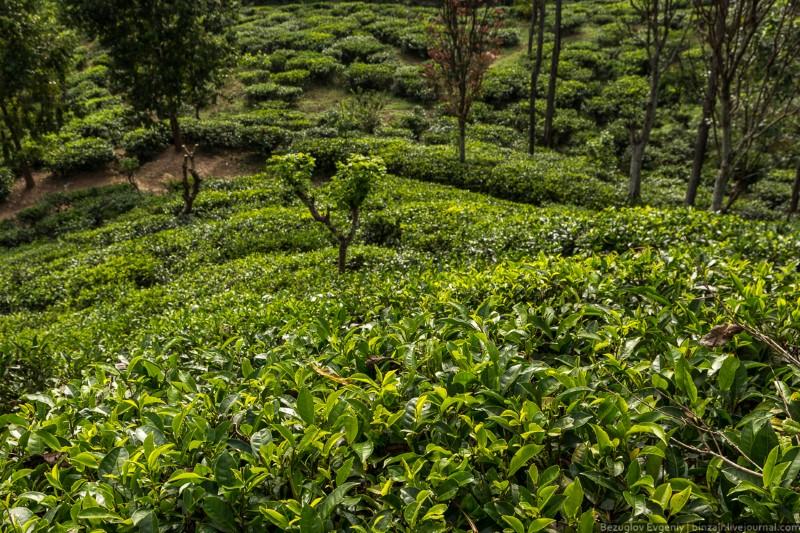مزارع الشاي في سريلانكا