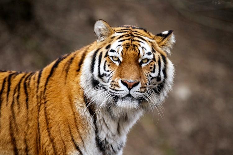نمر آمور حيوانات مهددة بالانقراض