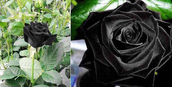 الورد الأسود