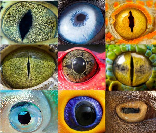 عيون بعض الحيوانات.