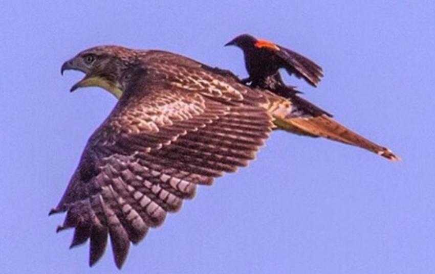 صور حول العالم طائر الشحرور أحمر الجناحين يستريح على ظهر صقر