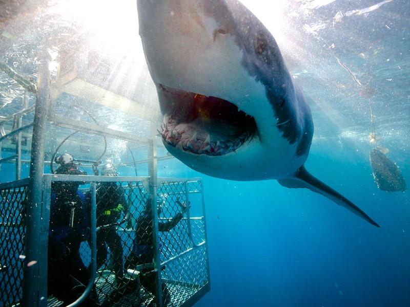 الغوص مع القرش، جزيرة نبتون، أستراليا