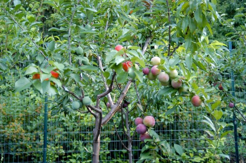 شجرة تثمر 40 نوع مختلف من الفاكهة