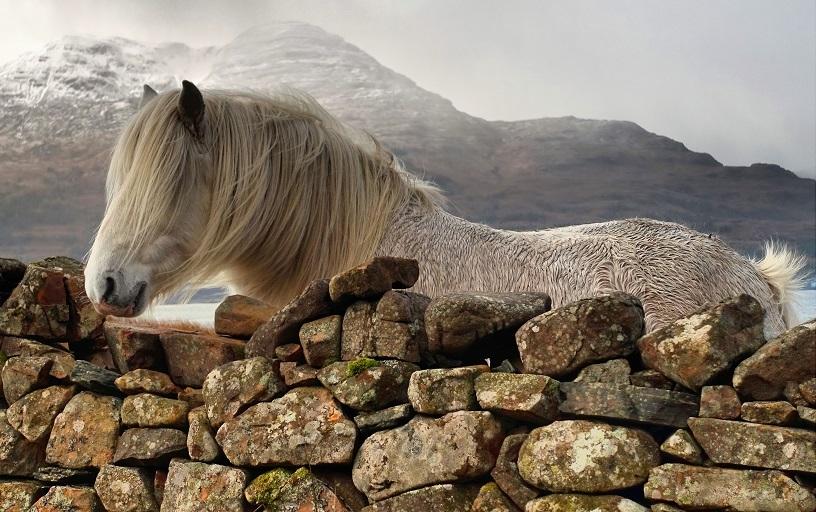 الحصان الجبلي كلايد