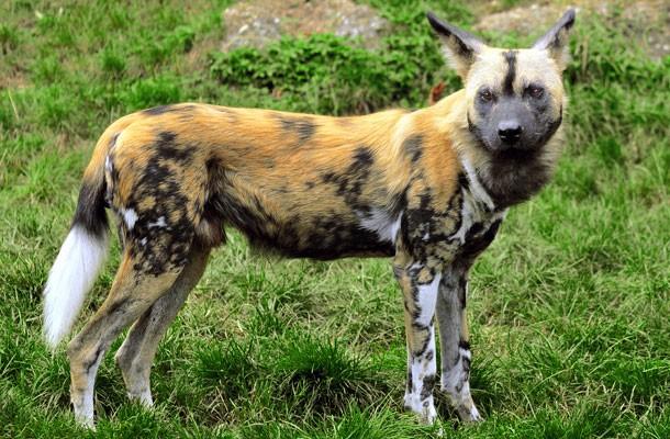 الكلب البري الإفريقي
