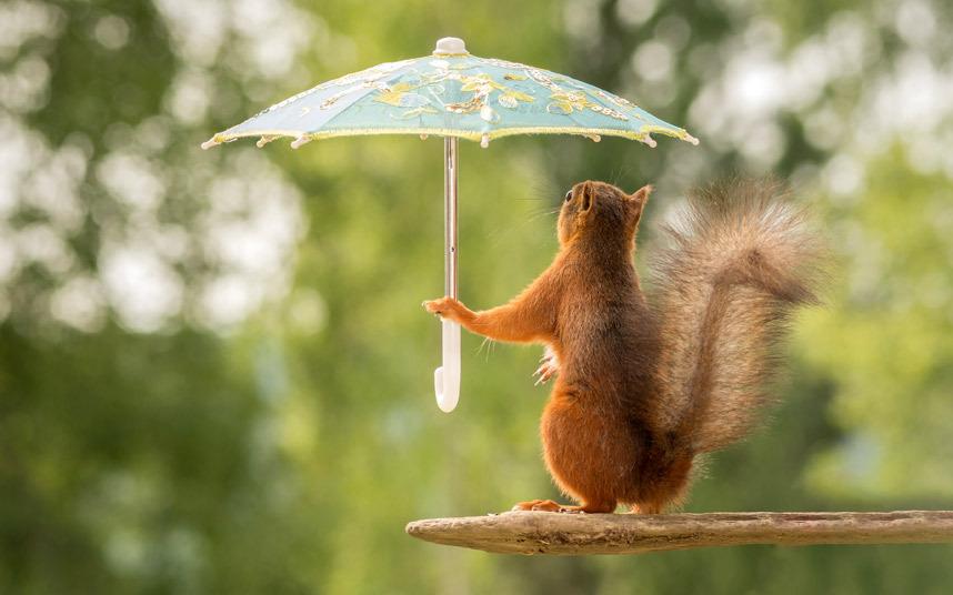 سنجاب يحمل مظلة