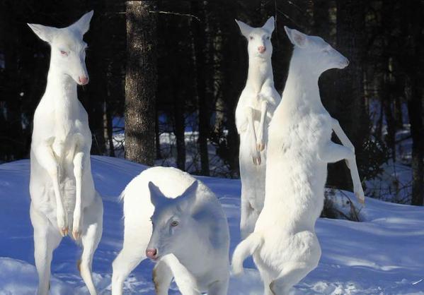 """غزال """" سينيكا """" الأبيض"""