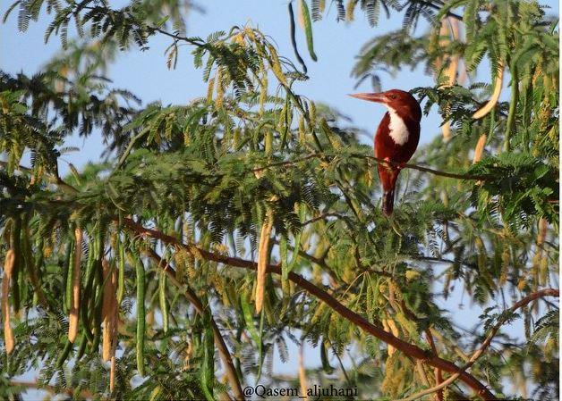 طائر الرفراف