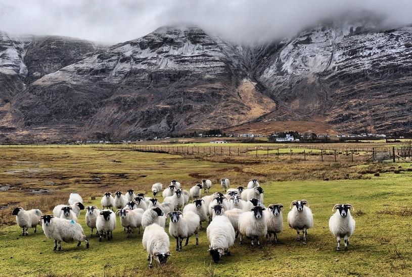 قطيع خراف اسكتلندي