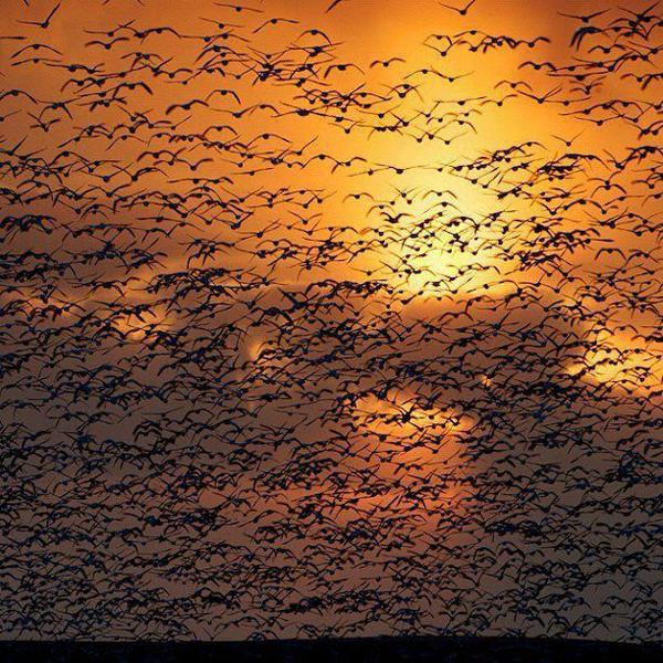 هجرة طيور الإوز
