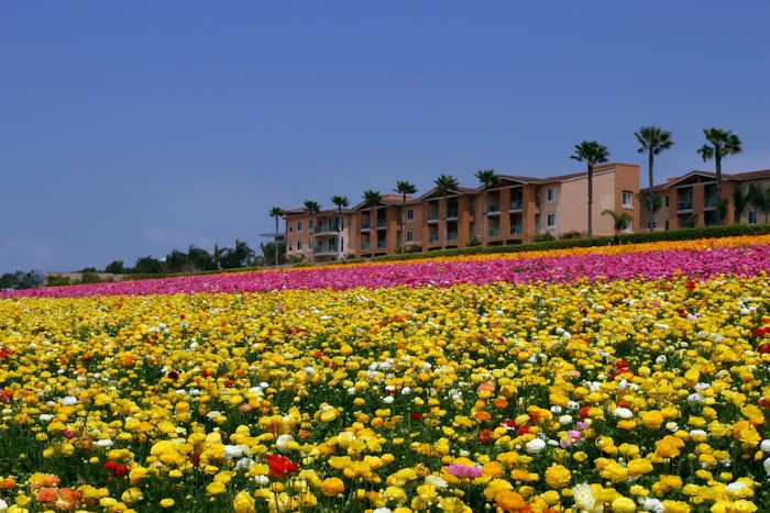 حقول الأزهار في كارلسباد
