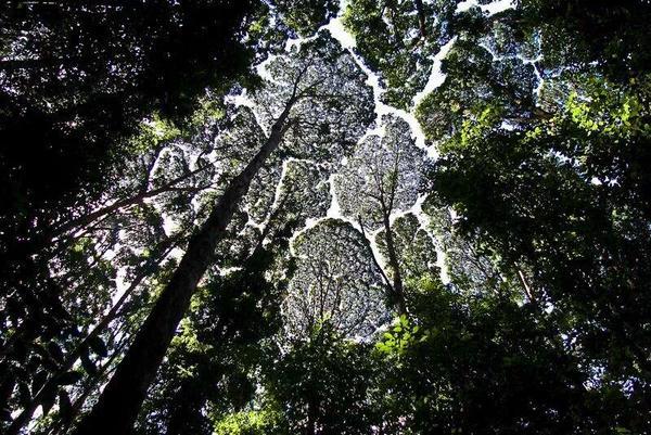 أشجار الكابور