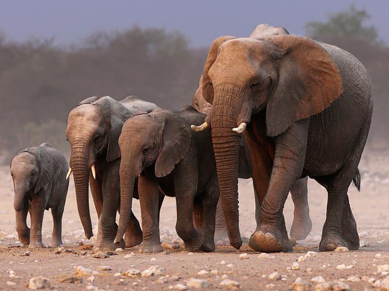 قطيع من الأفيال