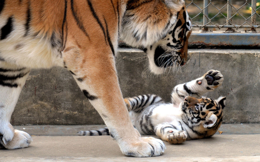 نمر يلاعب صغيره