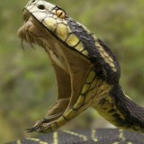 Snakes venom