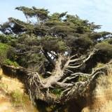 شجرة معمرة