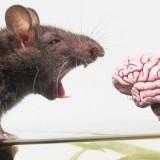 دماغ فأر