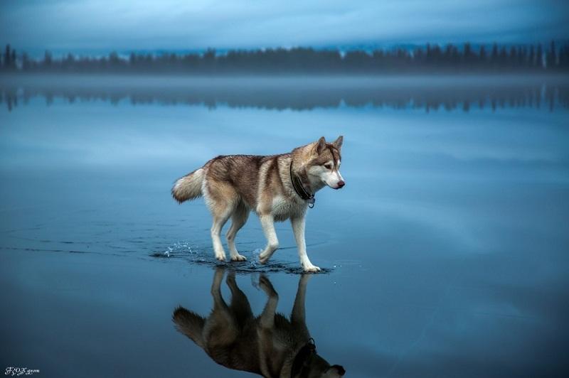 ذئب فوق الماء