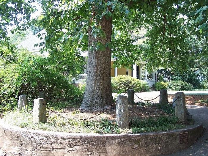شجرة بلوط أبيض