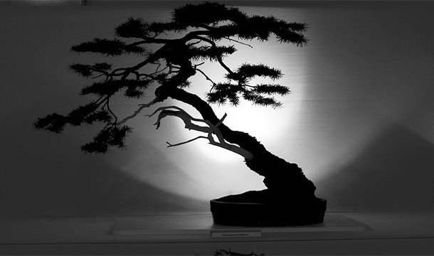شجرة بونساي