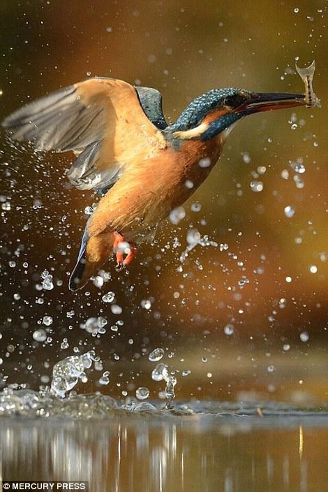 الرفراف يصطاد السمك