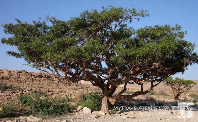أشجار اللبان
