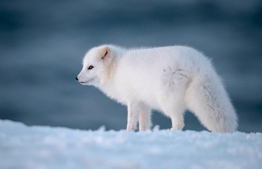 ثعلب قطبي