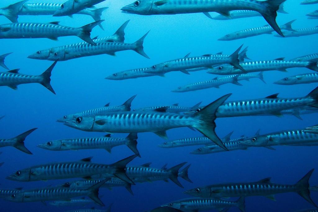 سمك الباركودا