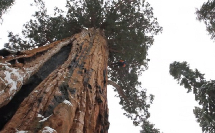 شجرة الرئيس