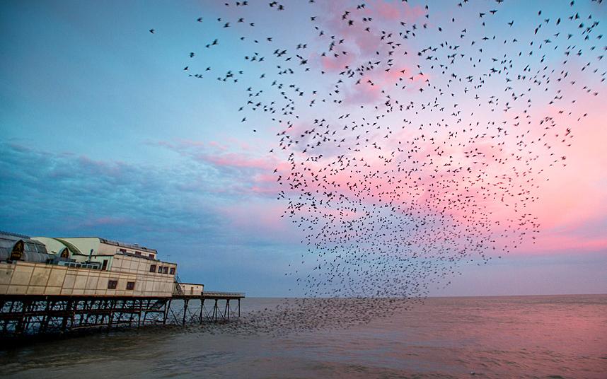 طيور الزرزور المهاجرة
