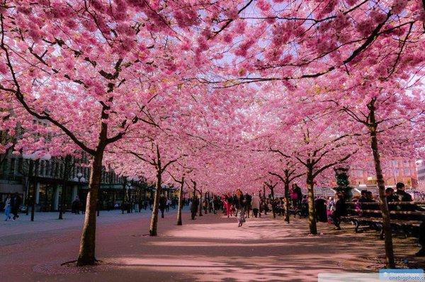 شارع أزهار الكرز