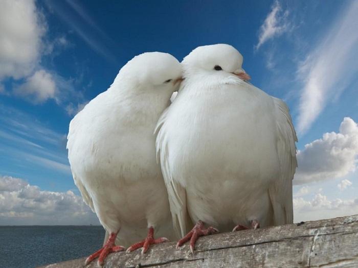 طائر الحمامة