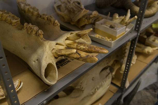 عظام حيوان
