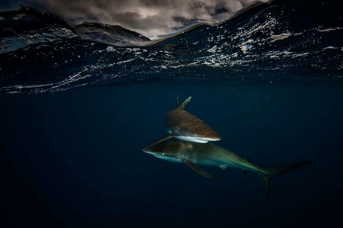 لقاء أسماك القرش