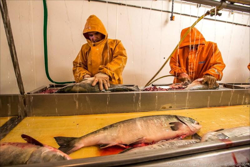 استخراج كافيار من السمك