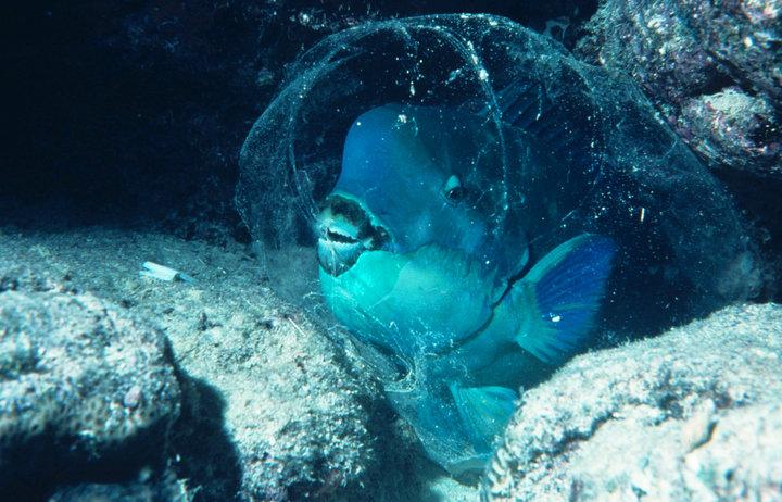 نوم سمكة الببغاء