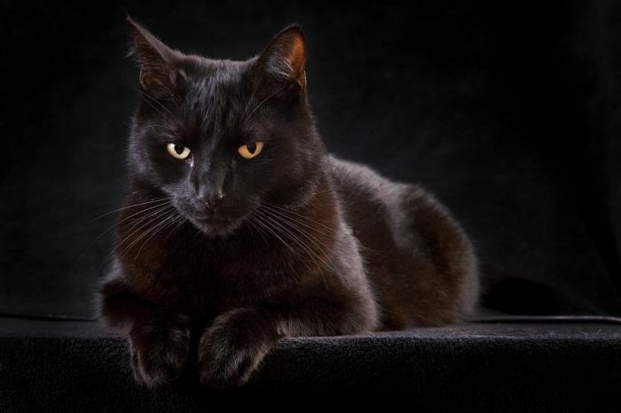 القطط السوداء